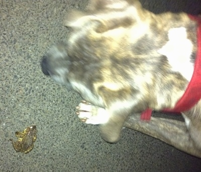 Top down view of a blue-nose Brindle Pit Bull Terrier walking across a driveway to a toad.