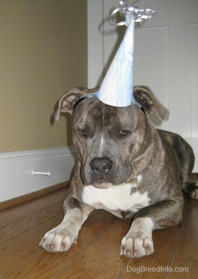 Front view - A blue-nose Brindle Pit Bull Terrier is laying on a hardwood floor and he is wearing a birthday hat. He is looking down.