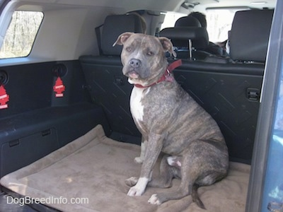 A blue-nose Pit Bull Terrier dog is sitting in the middle of a mini van that has the middle seats removed and he is looking out the open sliding door.
