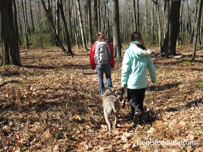 The back of a girl in a red coat and a girl in a blue coat that are leading a blue-nose Brindle Pit Bull Terrier on a walk through the woods.