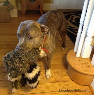 A blue-nose Brindle Pit Bull Terrier is standing next to a staircase and he has a toy in his mouth.