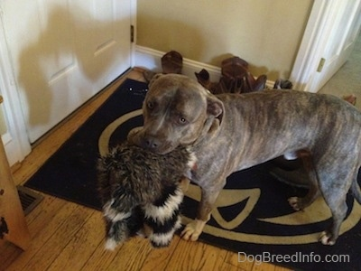 A blue-nose Brindle Pit Bull Terrier is standing on a Penn State University rug and he is looking forward. He has a toy in his mouth.