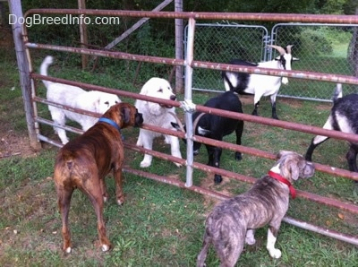 A blue-nose brindle Pit Bull Terrier puppy and a brown brindle Boxer are standing outside of a fence and in between the fence and a gate are two Great Pyrenees dogs and three goats.