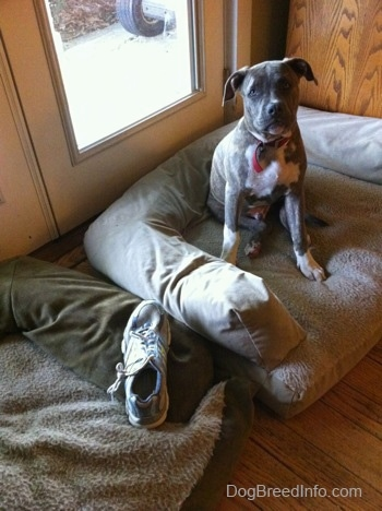 A blue-nose brindle Pit Bull Terrier puppy is sitting in up in a dog bed and he is looking forward. Across from him in a dog bed is a singular shoe.