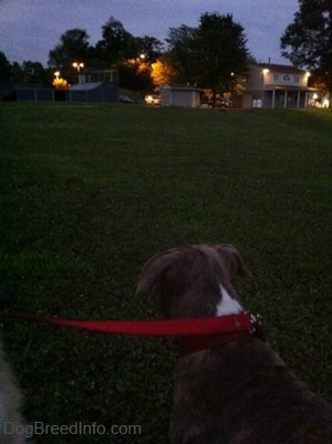 The back of a blue-nose brindle Pit Bull Terrier puppy that is looking across a field at a skate park.