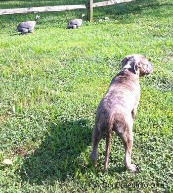 The back of a blue-nose brindle Pit Bull Terrier puppy is standing on grass and he is looking to the right. In front of him there are Guinea Fowl walking across a wooden split rail fence.