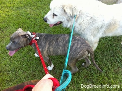 A blue-nose brindle Pit Bull Terrier puppy is walking across grass and he is next to a Great Pyrenees dog. They both are panting.