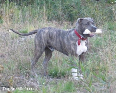 A blue-nose brindle Pit Bull Terrier puppy is standing in tall grass with a bone in his mouth.