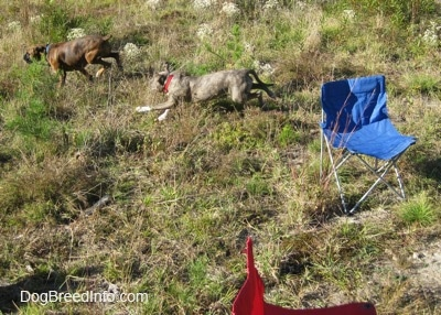 A blue-nose brindle Pit Bull Terrier puppy is running behind a brown brindle Boxer across a grassy hill that has a blue and a red lawn chair on it.