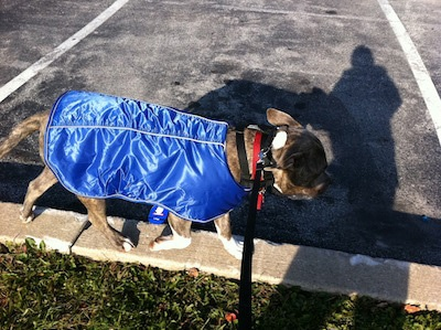 A blue-nose brindle Pit Bull Terrier is walking across a concrete divider and he is wearing a blue vest.