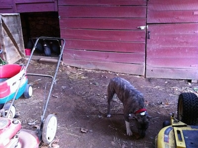 A blue-nose brindle Pit Bull Terrier is digging into dirt and there is a red barn behind him. To the left there is a lawn mower and a wagon and to the right there is another lawn mower.