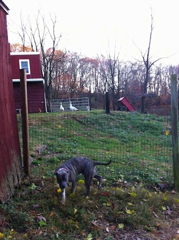 A blue-nose brindle Pit Bull Terrier is standing in grass next to a red chicken coop and behind him is a wire fence. In the distance is a red barn and a couple of white and tan peahens.