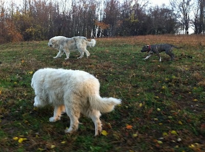 Two large white Great Pyrenees and a blue-nose brindle Pit Bull Terrier are walking across a field.