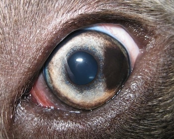 Close up - The eyeball of a blue-nose brindle Pit Bull Terrier that has a brown spot on his eye.