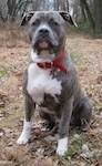 A blue-nose brindle Pit Bull Terrier is sitting in brown grass and there are leaves around him. He is looking forward.