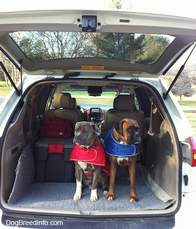 A blue-nose brindle Pit Bull Terrier, in a red vest and a brown brindle Boxer, in a blue vest are standing and sitting in the trunk of an open hatch of a Toyota Sienna minivan.