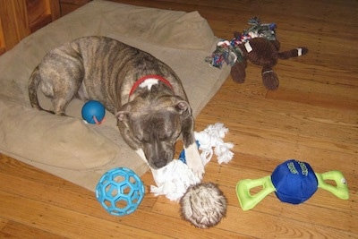 A blue-nose brindle Pit Bull Terrier is laying on a tan dog bed chewing on a rope toy with a lot of other toys scattered about around him.