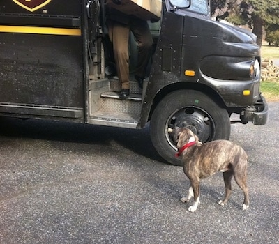 A blue-nose brindle Pit Bull Terrier has a bone in its mouth and he is looking up at a UPS driver that is coming out of his truck with a package.