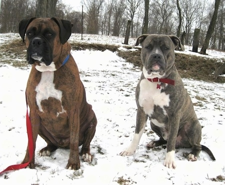 A blue-nose brindle Pit Bull Terrier and a brown brindle Boxer are sitting in snow and they are looking forward.