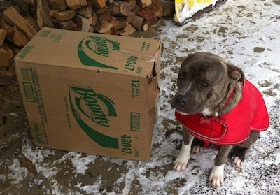 A blue-nose brindle Pit Bull Terrier in a red dog coat is sitting on a stone porch next to a large box of Bounty paper towels. There is a pile of split logs in the background.