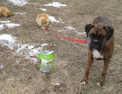 A brown brindle Boxer is standing in grass and a orange with white cat is playing with his leash. There is a bag of treats next to Bruno.