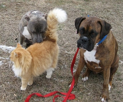 A blue-nose brindle Pit Bull Terrier is sitting behind a orange with white cat and he is sniffing the cat. Next to them is a brown brindle Boxer that is sitting in grass.