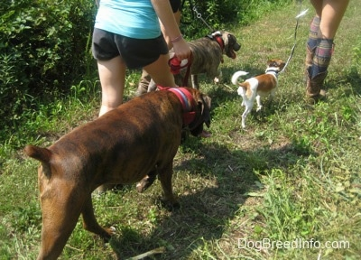 A blue-nose brindle Pit Bull Terrier puppy, a tan and white with black Chug dog and a brown brindle Boxer are being led on a walk across a path.