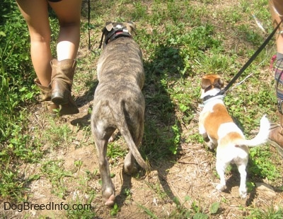 A blue-nose brindle Pit Bull Terrier puppy and a tan and white with black Chug dog are being led on a walk.