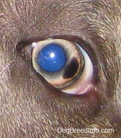 Close up -  The eye of a blue-nose brindle Pit Bull Terrier puppy that has a brown spot on the right of it.
