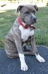 A blue-nose brindle Pit Bull Terrier puppy is sitting on a blacktop surface and he is looking to the right. He is wearing a loose red collar.