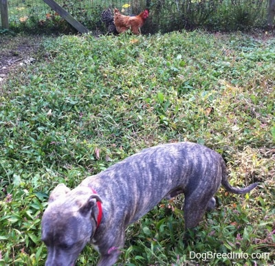 A blue-nose brindle Pit Bull Terrier puppy is walking across a grass surface and behind him near the fence there are two chickens.