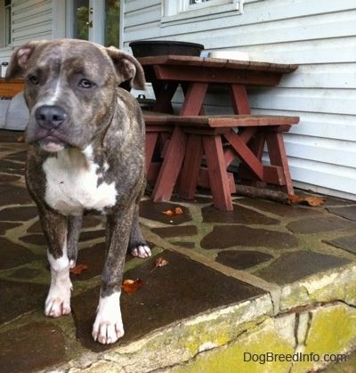 A blue-nose brindle Pit Bull Terrier puppy is standing at the edge of a wet stone porch in front of a white farm house looking forward.