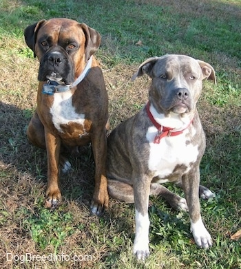 A blue-nose brindle Pit Bull Terrier and a brown brindle Boxer are sitting in grass next to each other and they are both looking up.