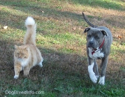 A blue-nose brindle Pit Bull Terrier is walking adjacent to a tan with white Cat across a field.