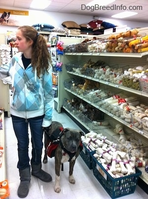 A girl in a white, blue and grey jacket is looking to the left and a blue-nose brindle Pit Bull Terrier are walking down an isle filled with dog bones in a pet store.