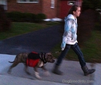 A girl in a white, blue and grey jacket is leading a blue-nose brindle Pit Bull Terrier on a walk down a street.