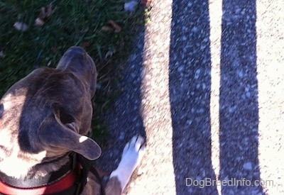 Top down view of a blue-nose brindle Pit Bull Terrier that is walking up a sidewalk.