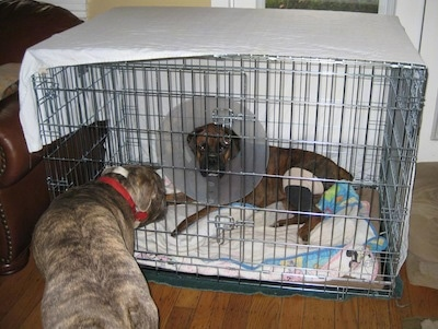 A brown brindle Boxer is laying in a crate and he is wearing a cone on his head. A blue brindle pit bull is outside the crate looking at him.