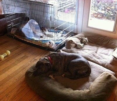 A blue-nose brindle Pit Bull Terrier is laying down on a dog bed and behind him is a brown brindle Boxer laying in a crate and he is wearing a cone on his head.