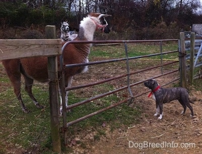 A blue-nose brindle Pit Bull Terrier is standing at a fence and in dirt looking up at a brown with white llama.