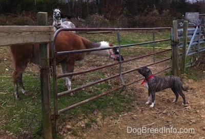 A brown with white llama is looking through a medal gate at a blue-nose brindle Pit Bull Terrier that is standing on the opposite side.