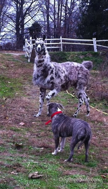 The llama is turning around to challenge a blue-nose brindle Pit Bull Terrier that is standing across from him.