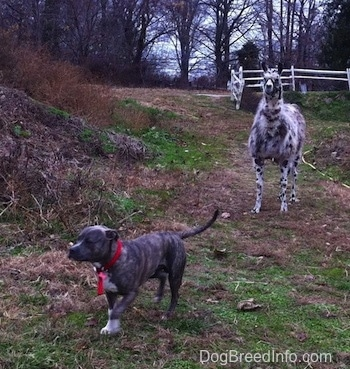 A blue-nose brindle Pit Bull Terrier is running away from a black and white llama.