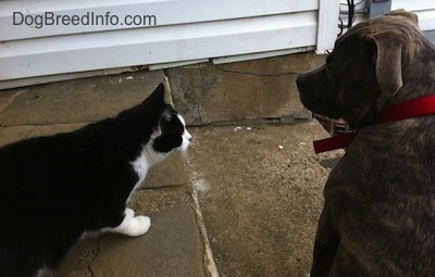 The back of a blue-nose brindle Pit Bull Terrier that is sitting on a stone porch and next to him is a black with white cat looking at him.