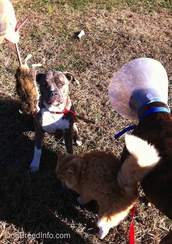 A person is holding a dead mouse in the air. A blue-nose brindle Pit Bull Terrier is sitting in grass and in front of him is a orange with white Cat that is brushing against a brown brindle Boxer. The Boxer has a cone on his head.