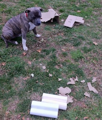 A blue-nose brindle Pit Bull Terrier is sitting in grass with a mess around him. Behind him is a chewed up cardboard box and across from that are plastic wraps with more chewed cardboard.