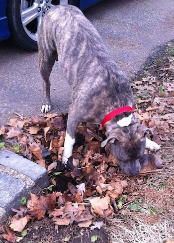 A blue-nose brindle Pit Bull Terrier is digging at a bully stick he had already buried.