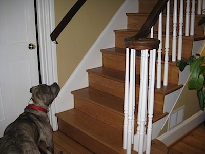 A blue-nose brindle Pit Bull Terrier is looking up a staircase that is in front of him.