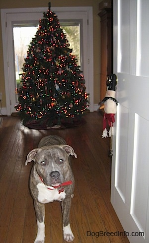 A blue-nose brindle Pit Bull Terrier is standing on a hardwood floor and there is a lit decorated Christmas tree behind him.