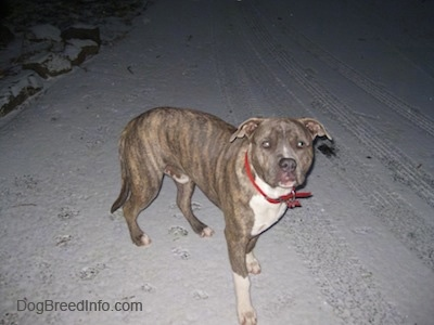 A blue-nose brindle Pit Bull Terrier with a white chest and paws is standing in the street in snow looking forward.